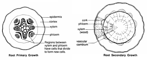 as with stems, the patterns of xylem and phloem differ in cross sections of  roots of monocots and dicots