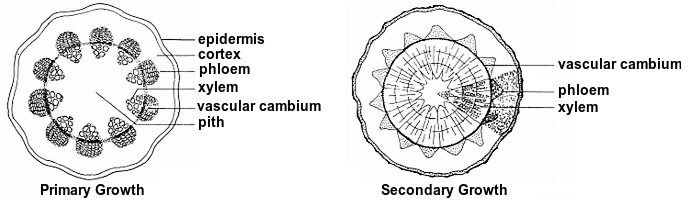 Monocot Vs Dicot Stem Cross Section - slidedocnow
